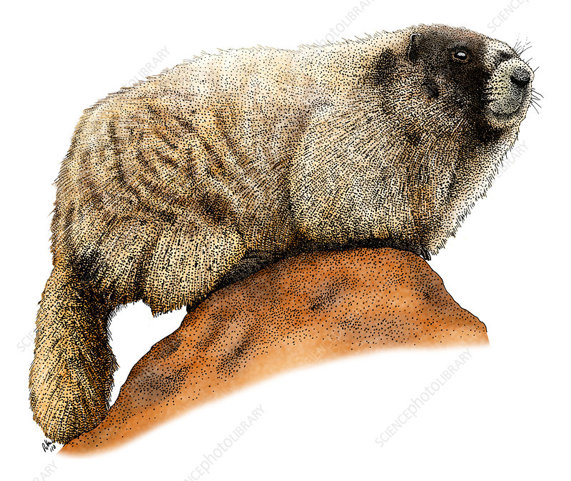 Hoary Marmot, Illustration