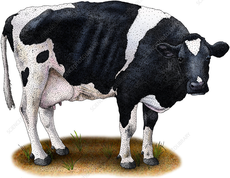 Holstein Cow, Illustration