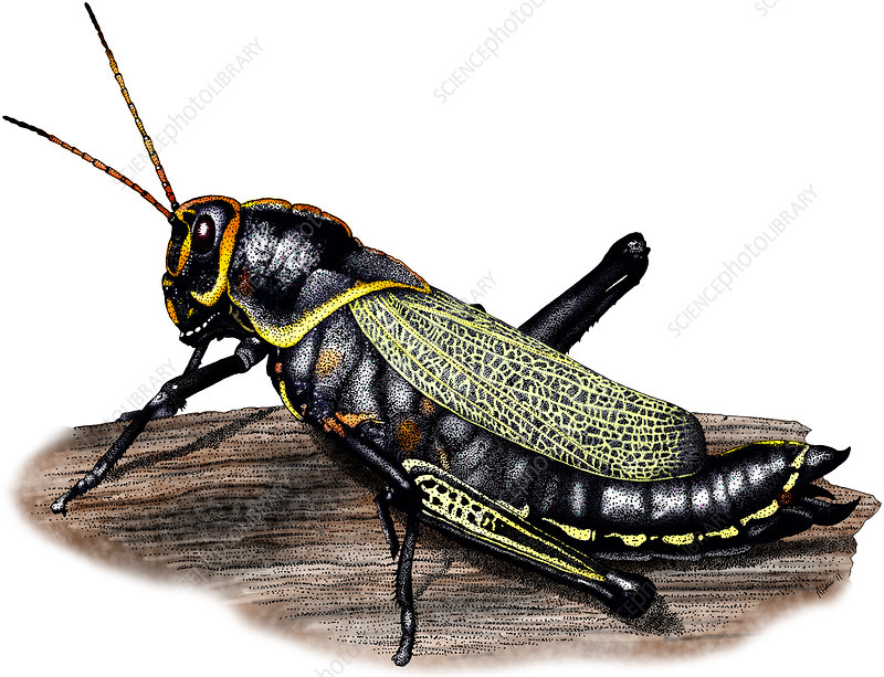 Horse Lubber Grasshopper, Illustration