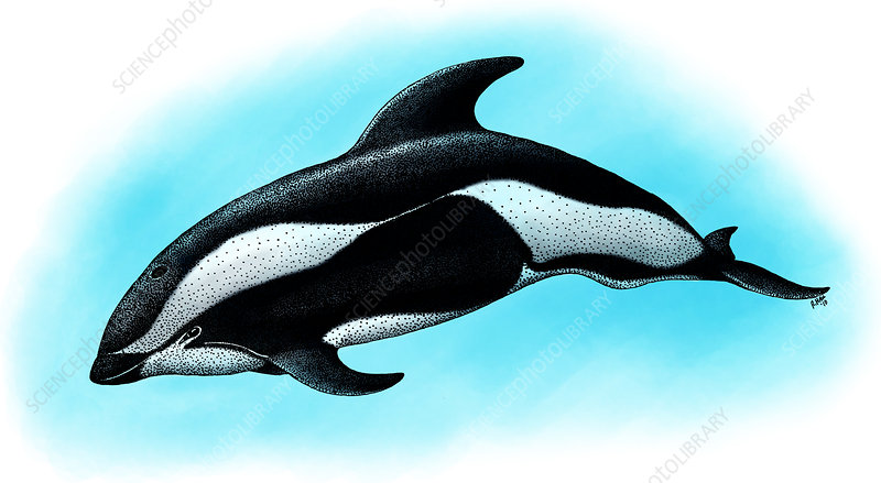 Hourglass Dolphin, Illustration