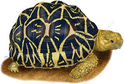 Indian Star Tortoise, Illustration