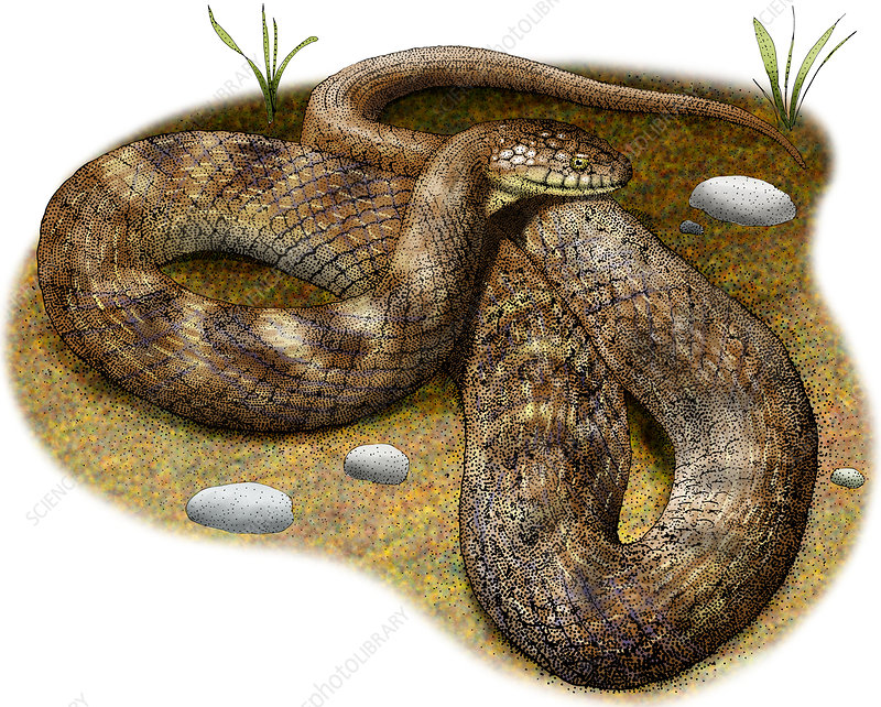 Lake Erie Water Snake, Illustration