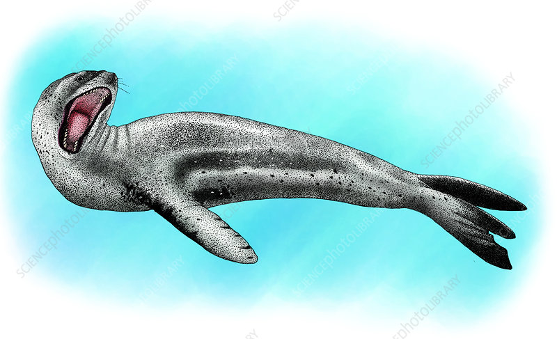 Leopard Seal, Illustration
