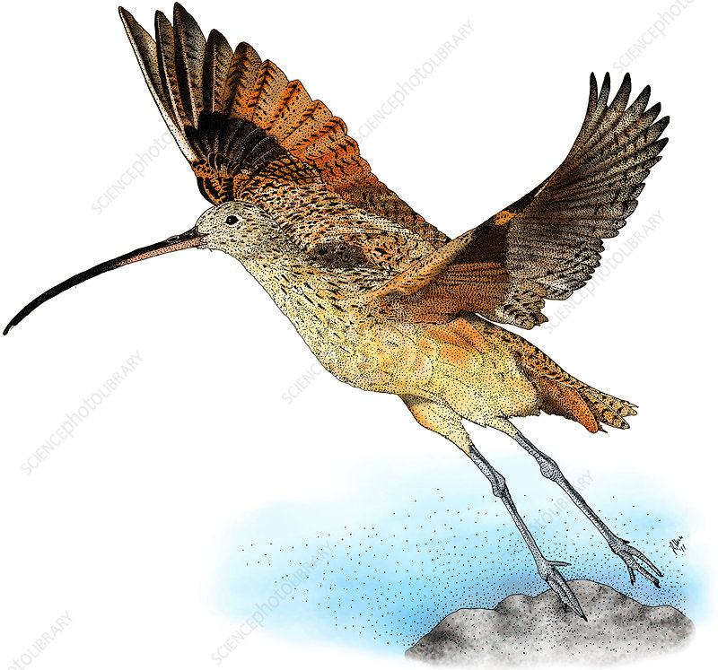 Long-Billed Curlew, Illustration