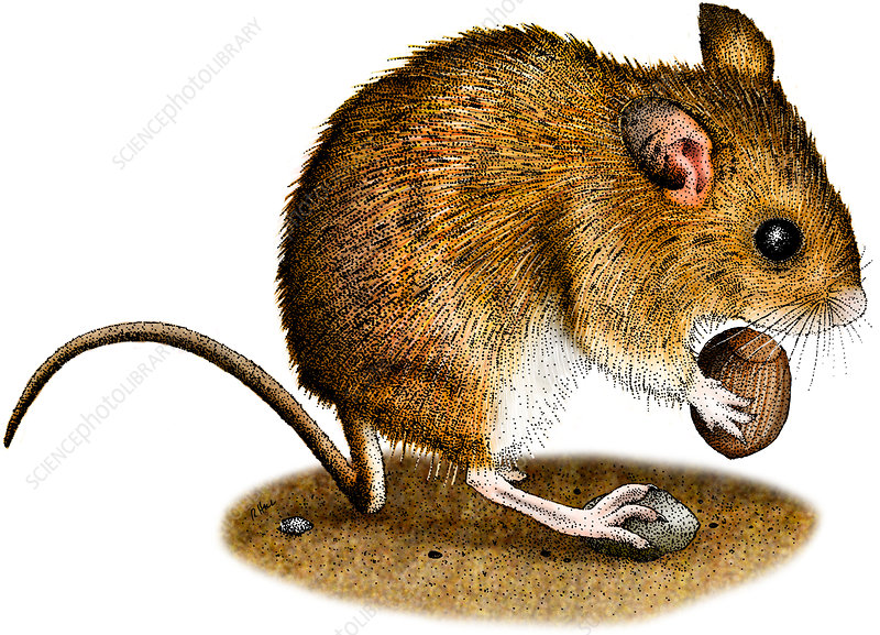 Long-Tailed Field Mouse, Illustration
