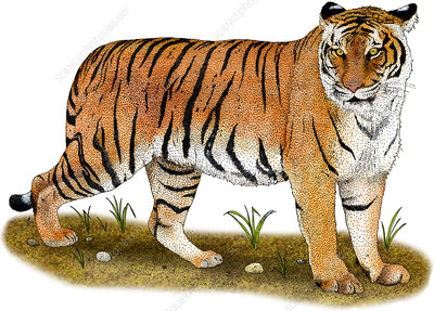 Malayan Tiger, Illustration