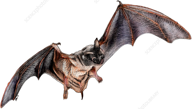 Mexican Free-Tailed Bat, Illustration