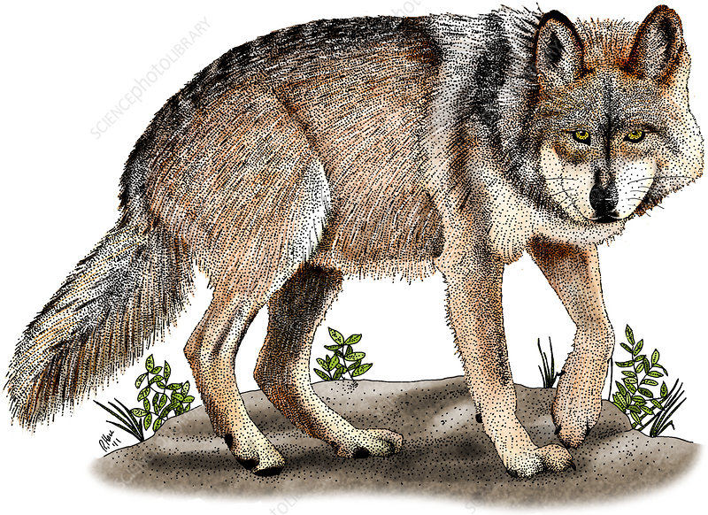 Mexican Wolf, Illustration