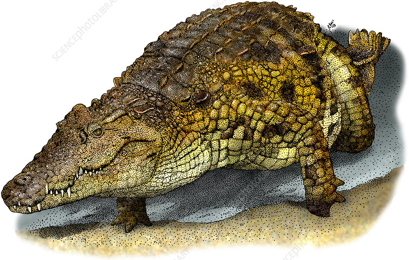 Nile Crocodile, Illustration