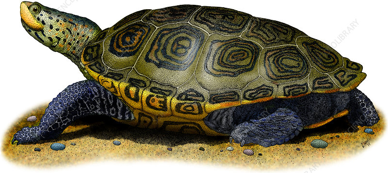 Diamondback Terrapin, Illustration