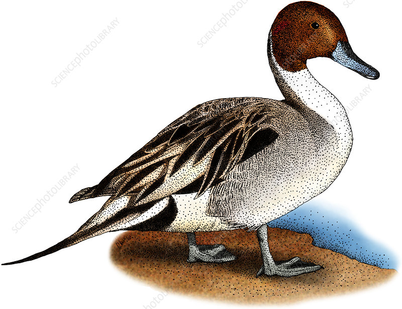 Northern Pintail Duck, Illustration