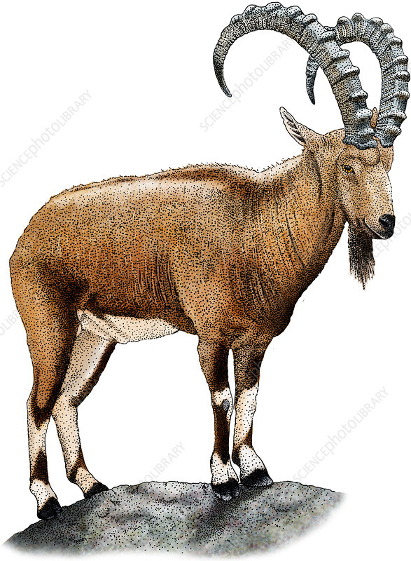 Nubian Ibex, Illustration