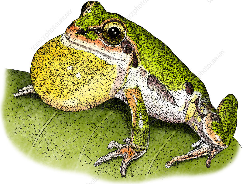 Ornate Chorus Frog, Illustration