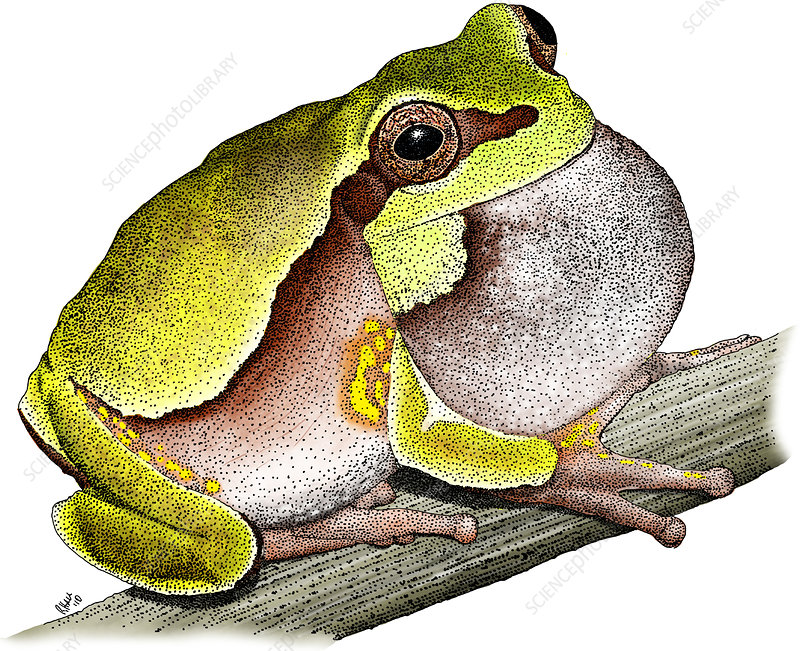 Pine Barrens Treefrog, Illustration