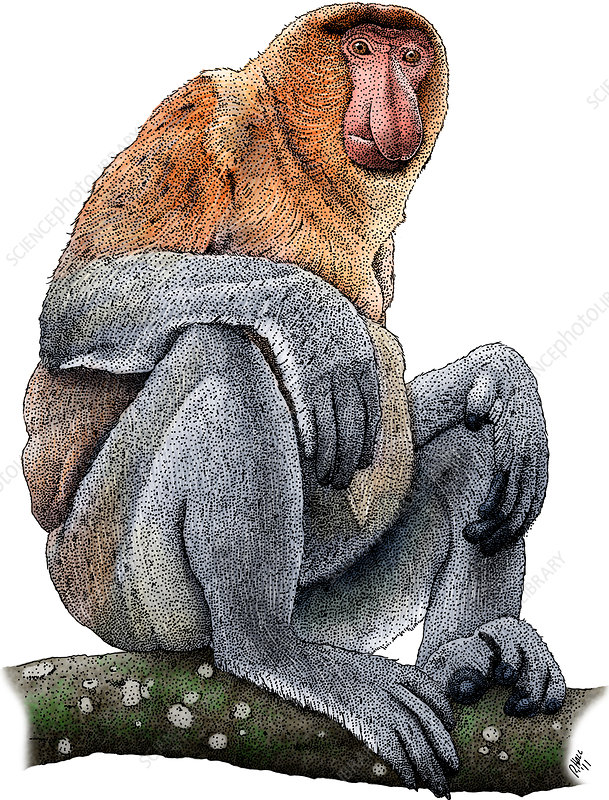Proboscis Monkey, Illustration