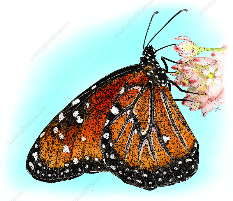 Queen Butterfly, Illustration