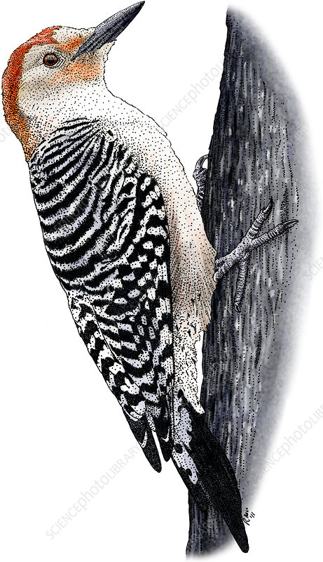 Red-headed Woodpecker, Illustration