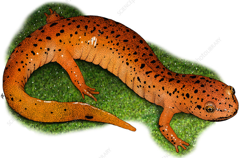 Red Salamander, Illustration