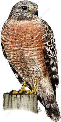Red-shouldered Hawk, Illustration