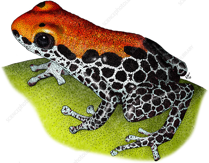 Poison Dart Frog, Illustration