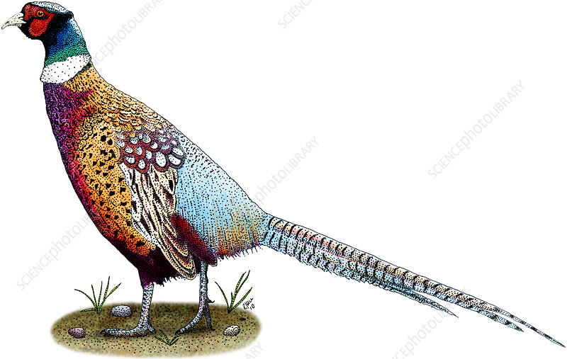 Ring-Necked Pheasant, Illustration