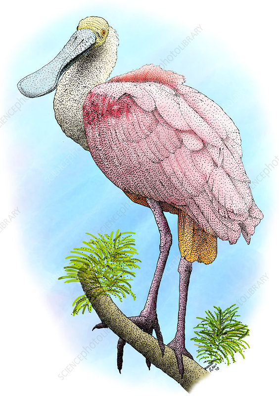 Roseate Spoonbill, Illustration