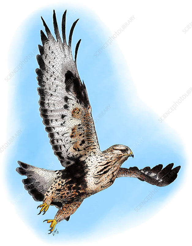 Rough-legged Hawk, Illustration