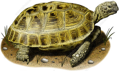 Russian Tortoise, Illustration