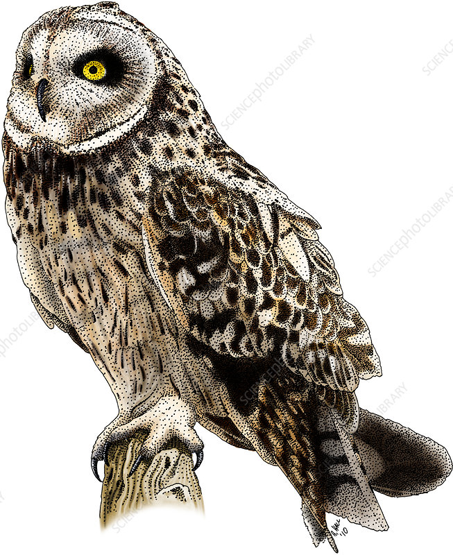 Short-Eared Owl, Illustration