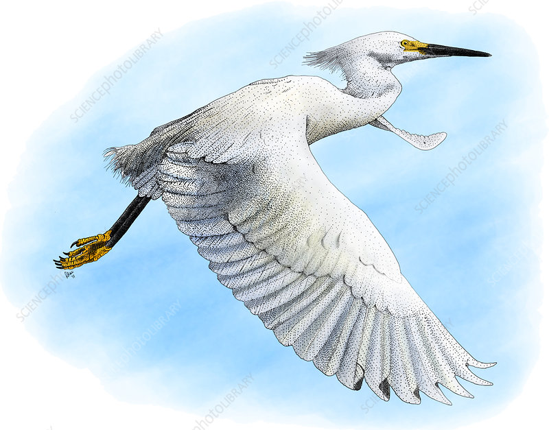 Snowy Egret, Illustration