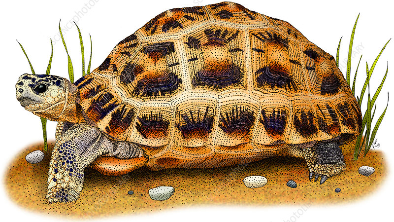 Spider Tortoise, Illustration