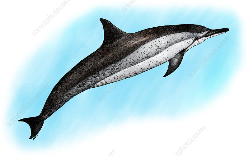 Spinner Dolphin, Illustration
