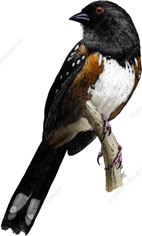 Spotted Towhee, Illustration