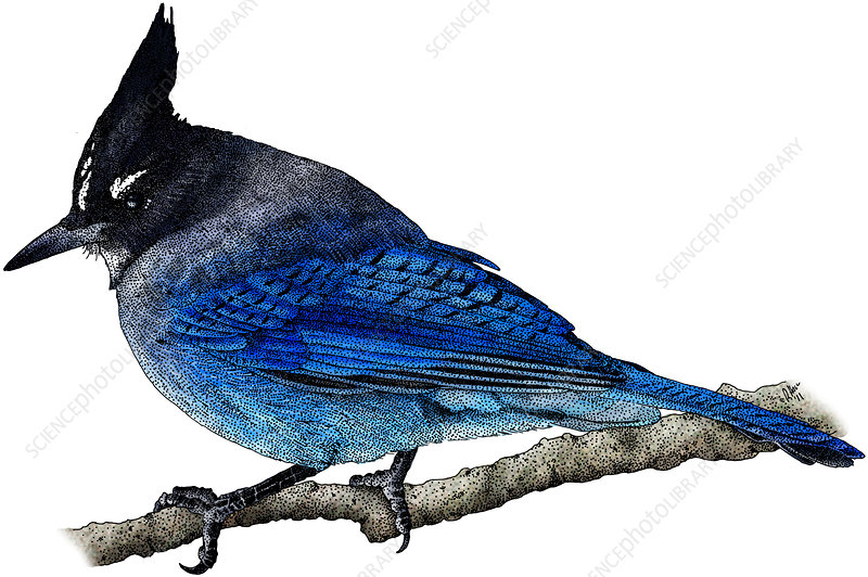 Steller's Jay, Illustration