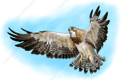Swainson's Hawk, Illustration
