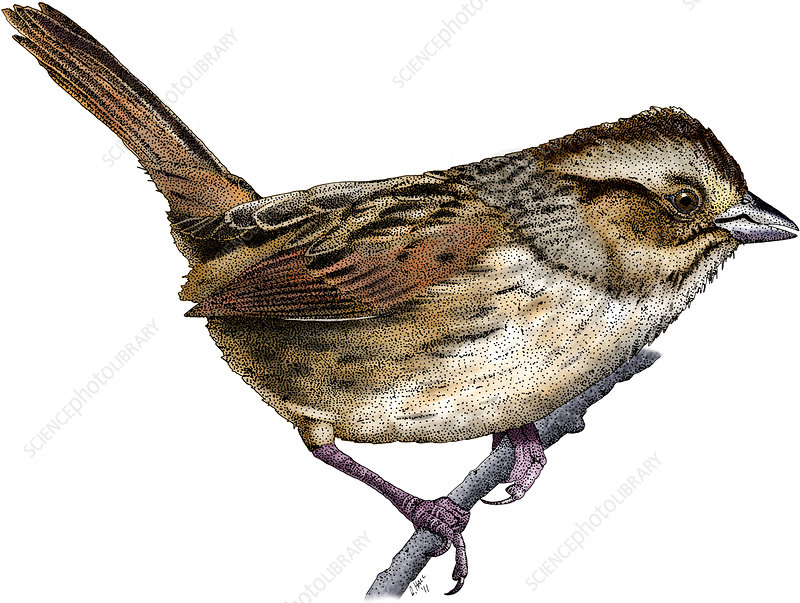 Swamp Sparrow, Illustration