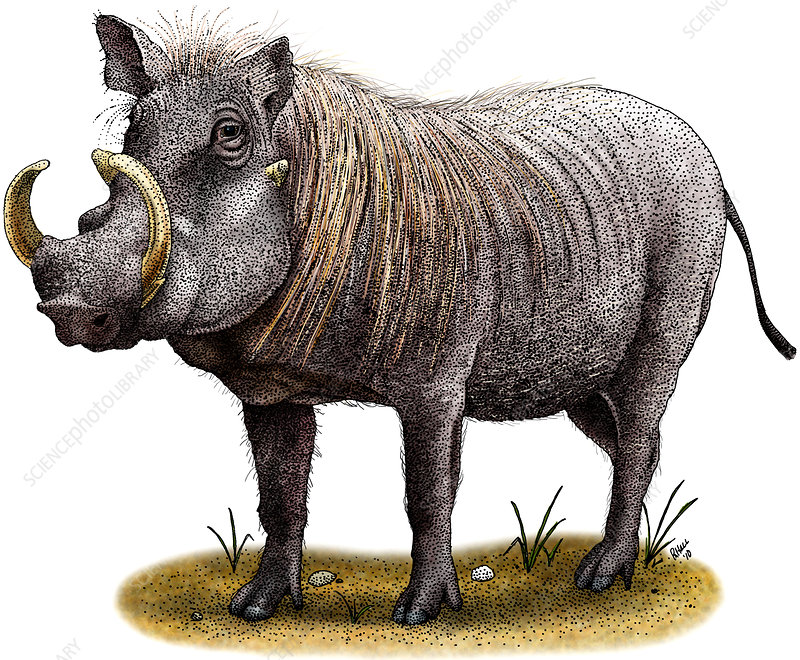 Warthog, Illustration