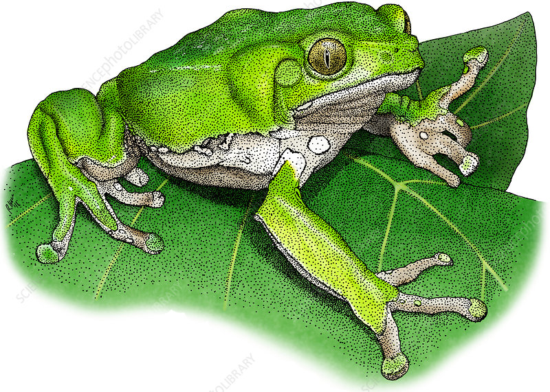 Waxy Monkey Treefrog, Illustration