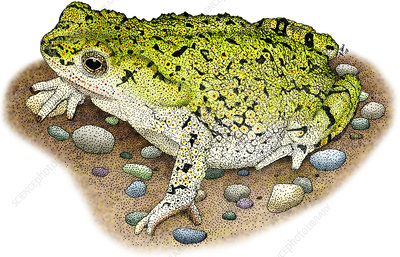 Western Green Toad, Illustration