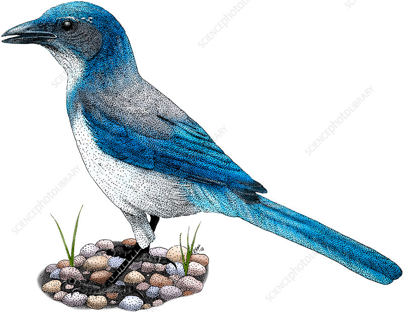 Western Scrub Jay, Illustration