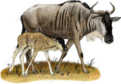White-Bearded Wildebeest, Illustration