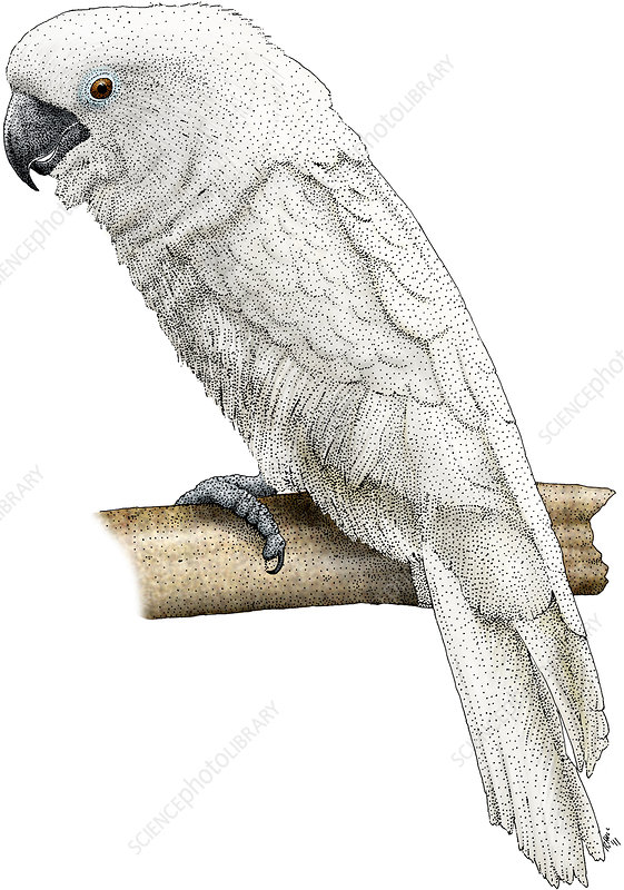 White Cockatoo, Illustration