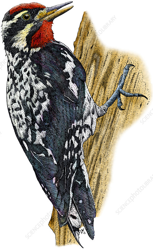 Yellow-bellied Sapsucker, Illustration