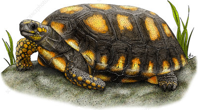 Yellow-footed Tortoise, Illustration