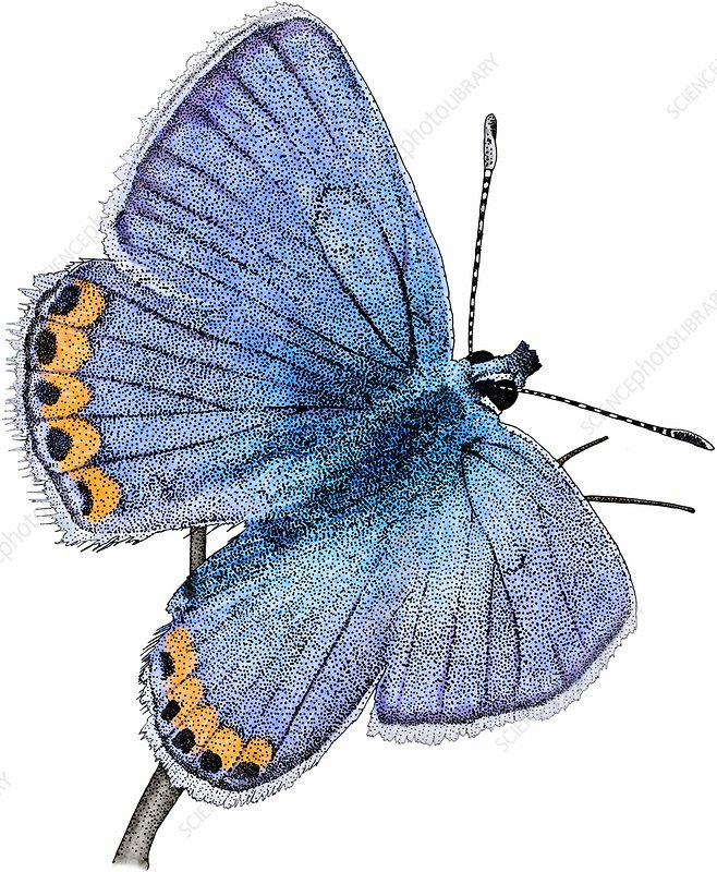Acmon blue butterfly, Illustration