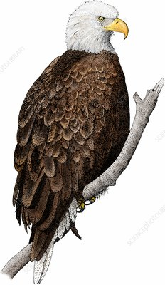 American bald eagle, Illustration