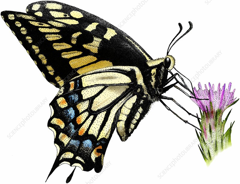 Anise swallowtail butterfly, Illustration