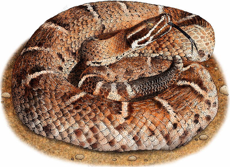 Ridge-nosed rattlesnake, Illustration