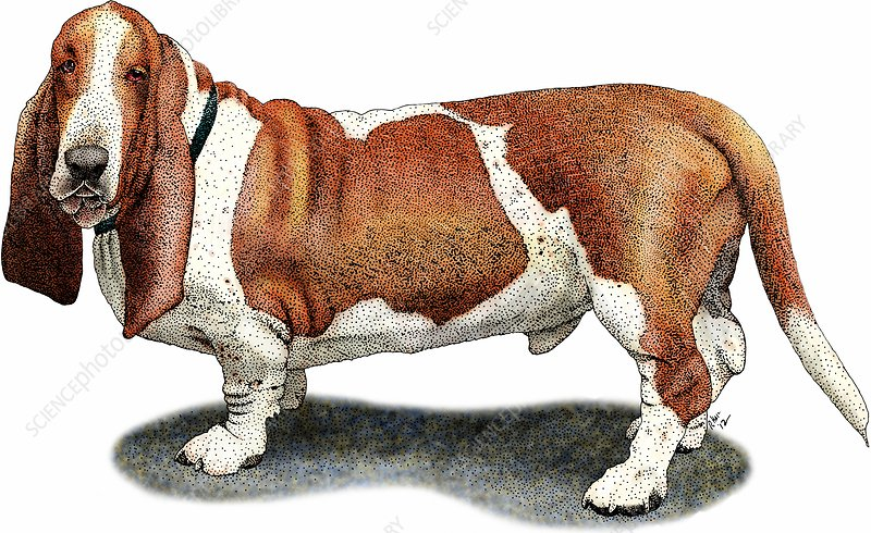 Basset hound, Illustration