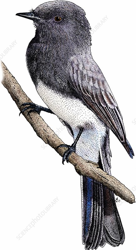 Black phoebe, Illustration